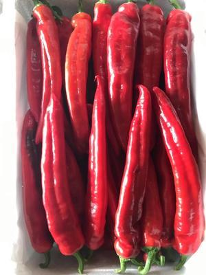山东省潍坊市寿光市北京红辣椒 20cm以上 中辣 红色