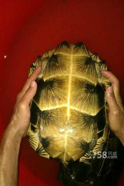 亚洲情龟_亚洲巨龟