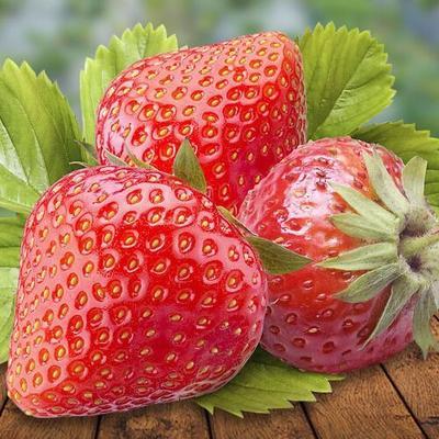 这是一张关于奶油草莓苗 30~40公分 地栽苗 的产品图片