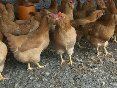 广西壮族自治区玉林市北流市土鸡 3-4斤 母