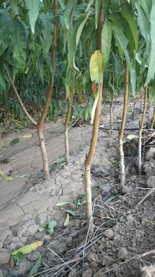 这是一张关于中油4号桃树苗 1~1.5米 的产品图片