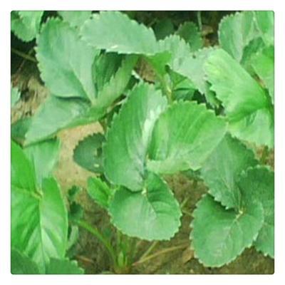 这是一张关于随珠草莓苗 20~30公分 地栽苗 的产品图片