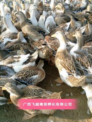广西壮族自治区南宁市兴宁区杂交鸭苗