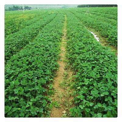 这是一张关于随珠草莓苗 30~40公分 地栽苗 的产品图片