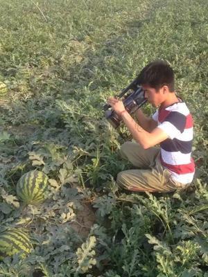 陕西省渭南市临渭区甜王西瓜 8斤打底 9成熟 1茬 有籽