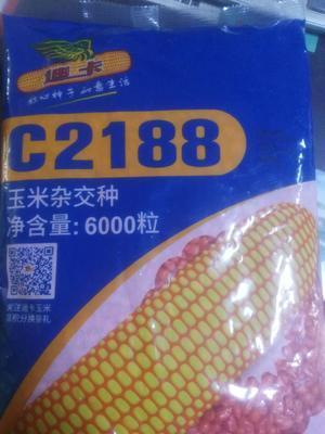 黑龙江省绥化市海伦市迪卡C2188 双交种 ≥90%