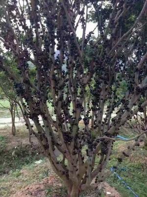 广西壮族自治区南宁市江南区树葡萄