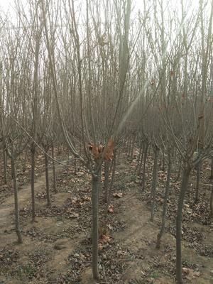 山东省菏泽市郓城县日本红叶樱花 3~3.5米 4~6公分