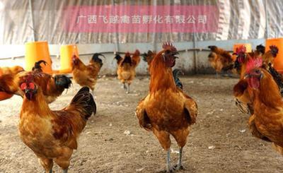 广西壮族自治区南宁市兴宁区金凤凰土鸡  2斤以下 统货 金凤凰鸡苗