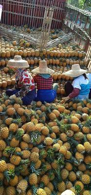 广东省湛江市徐闻县菲律宾(巴厘)菠萝 1.5 - 2斤