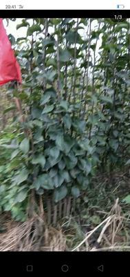 这是一张关于红梨苗 0.5~1米 的产品图片