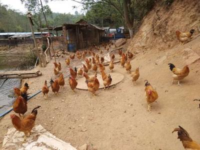 广东省广州市增城区三黄鸡 4-5斤 统货
