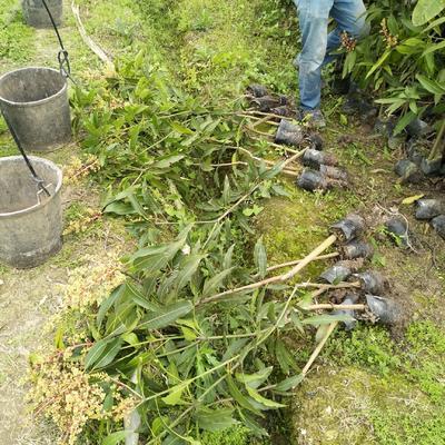 这是一张关于桂七芒果苗 的产品图片