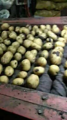 内蒙古自治区呼伦贝尔市牙克石市兴佳2号土豆 1~3两