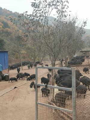 山西省长治市沁源县藏香猪 120斤以上
