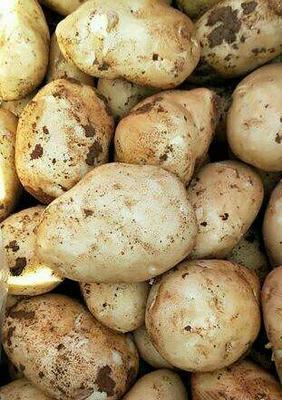 云南省丽薯6号 2~4两