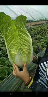 这是一张关于菊锦大白菜 3~6斤 净菜 的产品图片