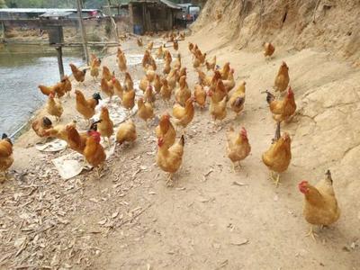 广东省广州市增城区清远鸡 4-5斤 统货