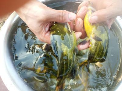 广西壮族自治区南宁市武鸣县池塘黄颡鱼 人工殖养 0.05公斤