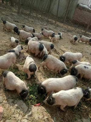 安徽省阜阳市太和县小香猪 60斤以上