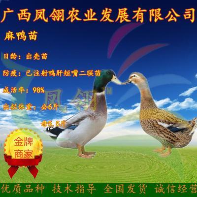 广西壮族自治区南宁市兴宁区麻鸭苗