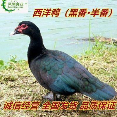广西壮族自治区南宁市兴宁区番鸭苗  黑番鸭