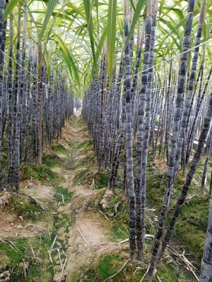 这是一张关于黑皮甘蔗 5 - 6cm 2.5 - 3m 的产品图片