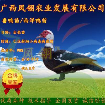 广西壮族自治区南宁市兴宁区番鸭苗 西洋鸭