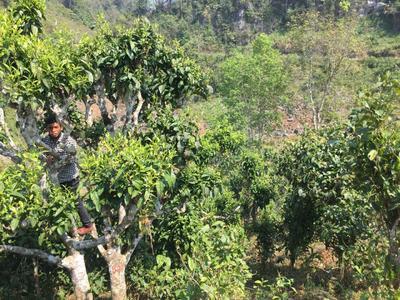 云南省普洱市江城哈尼族彝族自治县老挝古树茶 一级 散装