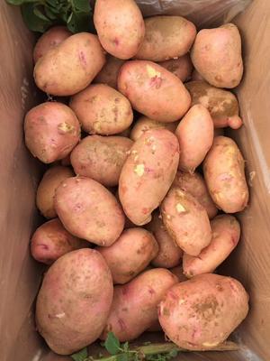 云南省昆明市呈贡区合作88号土豆 3两以上
