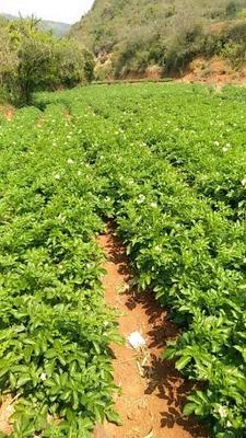 云南省红河哈尼族彝族自治州建水县丽薯6号  3两以上 口感好,含淀粉高白皮白心