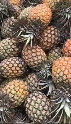 云南省西双版纳傣族自治州景洪市金菠萝 1.5 - 2斤