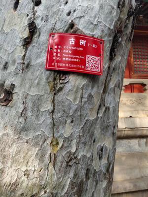 河南省驻马店市汝南县日本红叶樱花 1.5~2米 4公分以下