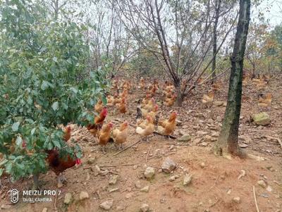 安徽省宣城市宣州区土鸡 3-4斤 母