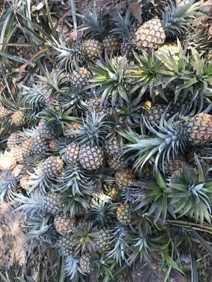云南省西双版纳傣族自治州景洪市金菠萝 1 - 1.5斤