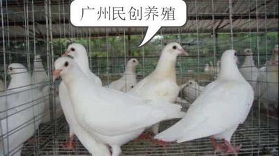 广东省广州市白云区豚鼠