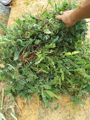 这是一张关于鸡骨草 的产品图片