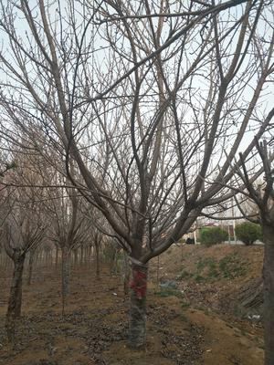 山东省泰安市岱岳区晚樱 3.5米~5米 12~14公分