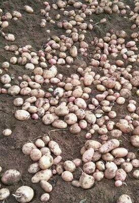 云南省合作88号土豆 1两以下