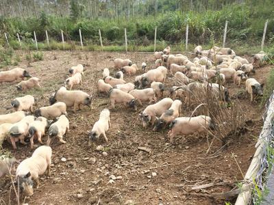 广西壮族自治区贺州市昭平县巴马香猪 40-60斤
