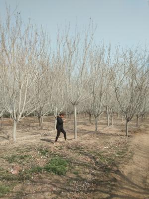 山东省菏泽市郓城县日本红叶樱花 3.5米~5米 14~16公分