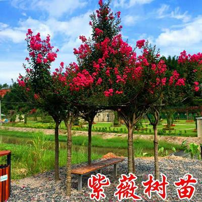 这是一张关于紫薇树 的产品图片