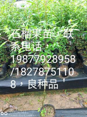 广西壮族自治区钦州市灵山县红宝石石榴苗