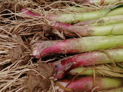 这是一张关于红根蒜苗 65cm 的产品图片