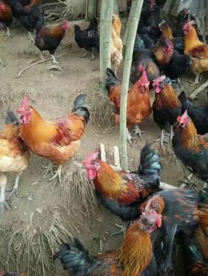 四川省宜宾市筠连县肉鸡 6-7斤 统货