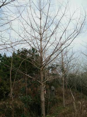 广西壮族自治区桂林市全州县古银杏树