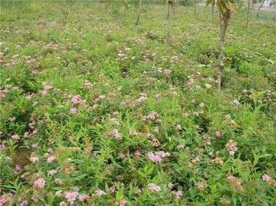 这是一张关于绣线菊 的产品图片