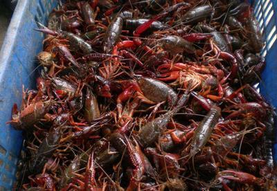 这是一张关于潜江小龙虾 4-6钱 湖虾 的产品图片