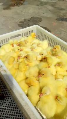 这是一张关于马岗鹅苗 的产品图片