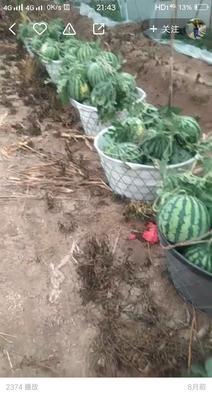 河南省南阳市卧龙区8424西瓜 6斤打底 8成熟 1茬 无籽